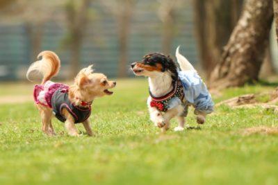 子犬 キャンプ チワワ ダックス