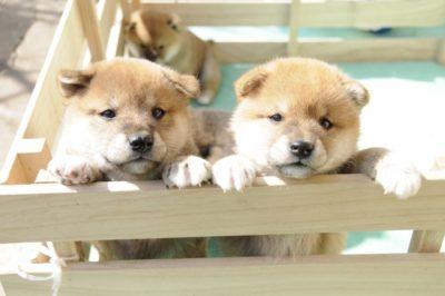 子犬 キャンプ 柴犬 二匹