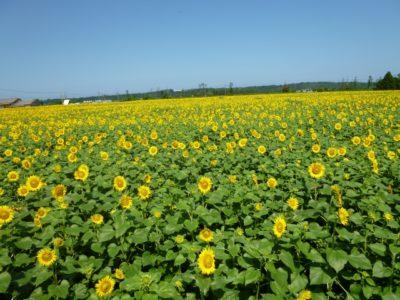 潮干狩り 石川県 内灘 ひまわり畑