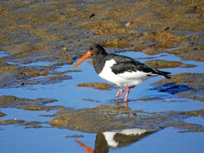 潮干狩り 浜名湖 中之島 野鳥
