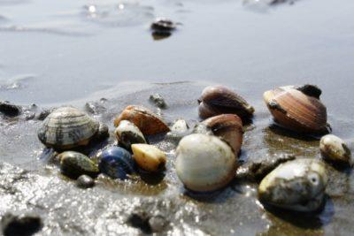 御殿場 海岸 潮干狩り ポイント 駐車場 貝殻