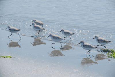 船橋三番瀬 潮干狩り ホンビノス 鳥