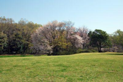 小金井公園 フリマ 4 月 桜