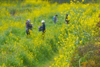 小金井公園 フリマ 4 月 菜の花