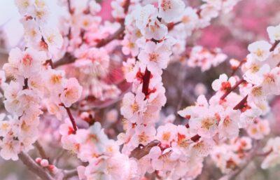ひな祭り 洋風メニュー(レシピ) お花マカロン